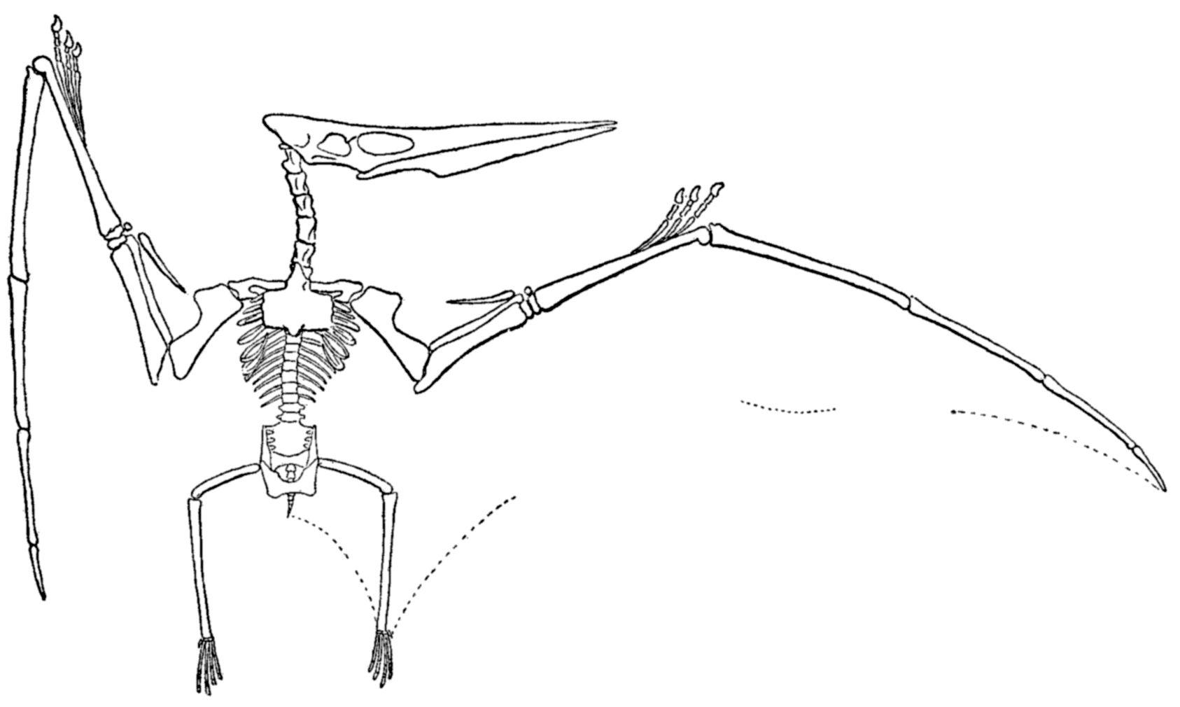 Pteranodon Wikipedia Skeleton Drawings Prehistoric Creatures Dinosaur Activities