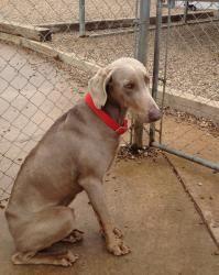 Adopt Elvis On Weimaraner Dogs Dog Adoption Shelter Dogs