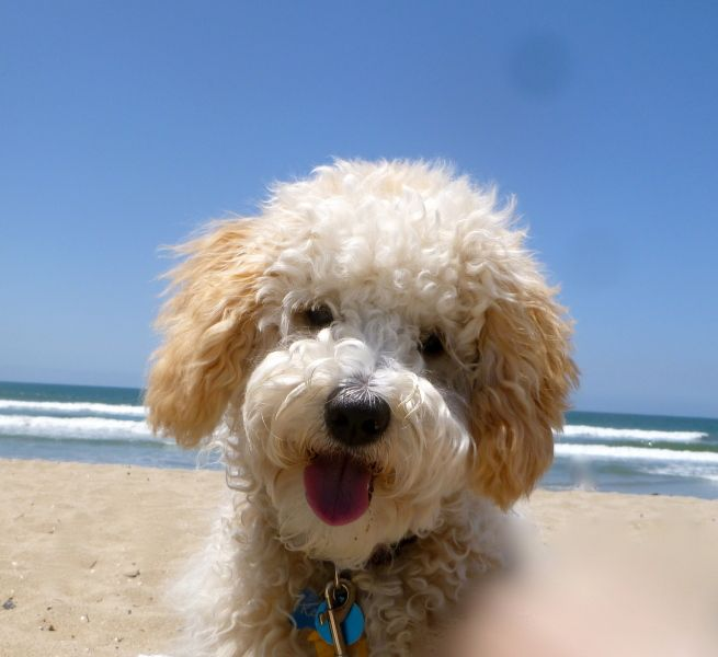 Kaiser At The Beach Pinned By Myoodle Com Labradoodle Doodle