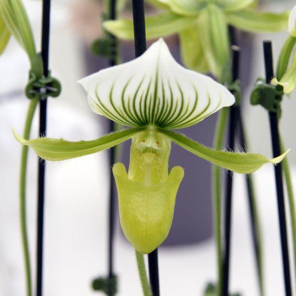Orchidee Sabot De Venus Paphiopedilum Maudiae Femma Orchids Plants Garden