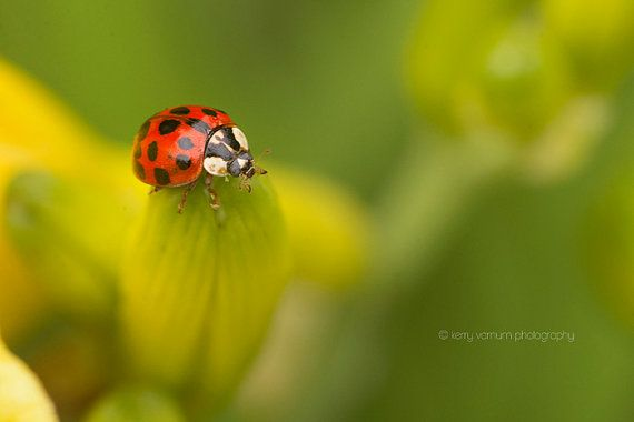 A ladybug climbing on a Stella D'oro Nature, Fine art photography, Macro Photography, Flower Photography $30.00