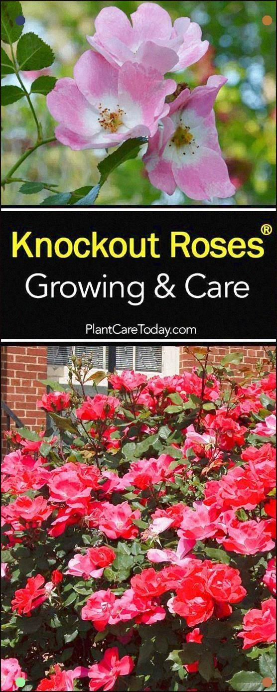 Knockout Rose Care Is So Easy It Saved The Popularity Of Roses. The Knockout Rose Is The Most Popular Type Of Rose In The Usa Today. Find out More And Why #knockoutrosen Knockout Rose Care Is So Easy It Saved The Popularity Of Roses. The Knockout Rose Is The Most Popular Type Of Rose In The Usa Today. Find out More And Why #knockoutrosen Knockout Rose Care Is So Easy It Saved The Popularity Of Roses. The Knockout Rose Is The Most Popular Type Of Rose In The Usa Today. Find out More And Why #knoc #knockoutrosen