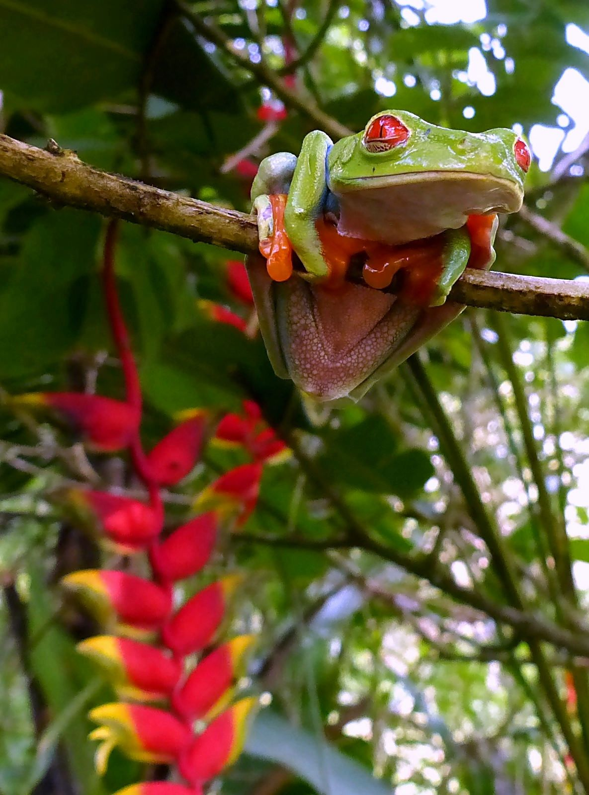 Redeyed Tree Frog, in a Costa Rica garden. Red eyed