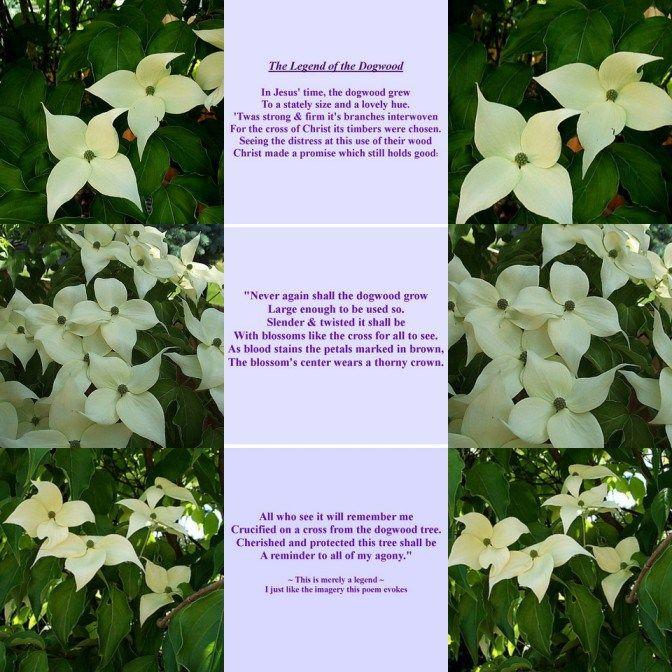 photo relating to Legend of the Dogwood Tree Printable named The Legend of the Dogwood Poem Gardening Dogwood trees
