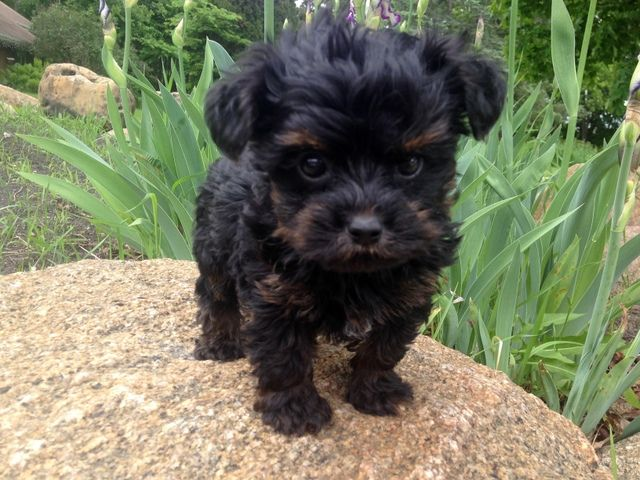 Could This Little Yorkie Poo Be Any Cuter? Dog, Yorkies
