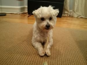 Adopt Sully On Dogs Sully Maltese