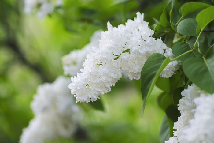 Lilac Flower Meaning Flower Meaning White Lilacs Flower Meanings Lilac Flowers Outdoor And Landscape