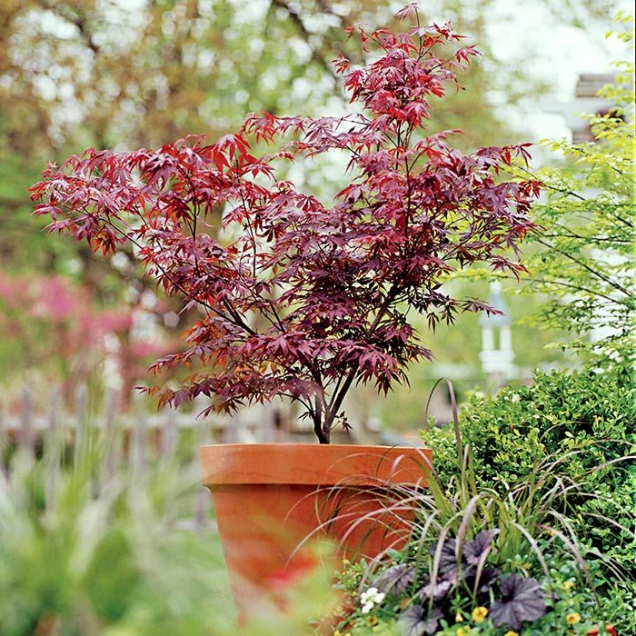 Grow A Japanese Maple In A Pot Flowering Trees Spring Flowering Trees Potted Trees