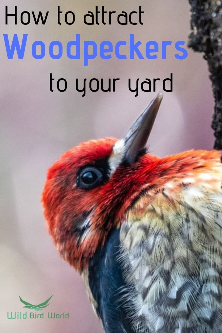 Ever wondered how best to attract woodpeckers to your yard ...
