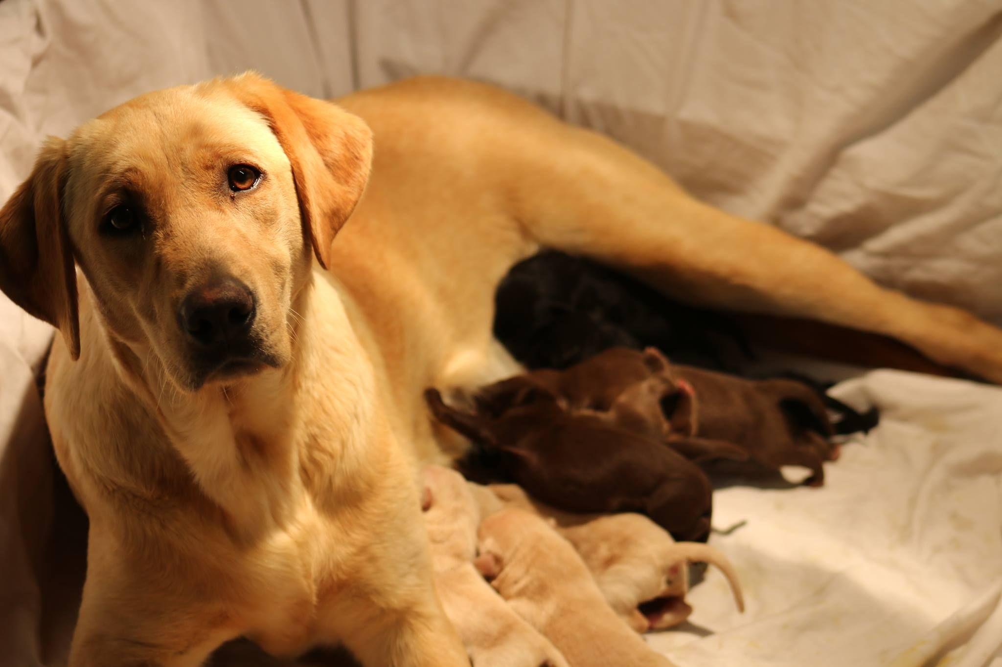 AKC registered British Labrador Retriever Puppies for sale