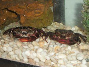 Faqs On Brackish Water Crabs Other Crustaceans Crab Crustaceans Fish