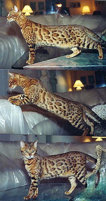 Bengal Kittens Bengal Kitten Bengal Cat Beautiful Cats