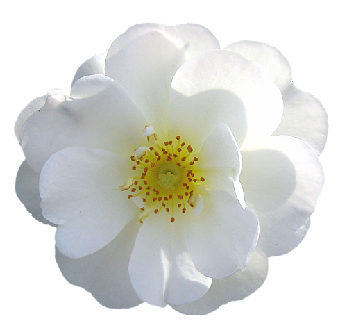 White flower png rose transparent png isolated flower roses white flower png rose transparent png isolated flower roses various colours for mightylinksfo Images