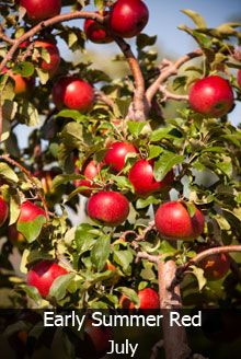 4 In 1 Apple Tree Fruit Trees For Sale Fruit Trees Uk Dwarf Fruit Trees