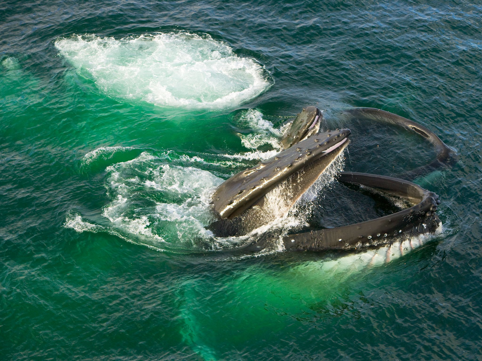Do Whales Have Culture? Humpbacks Pass on Behavior
