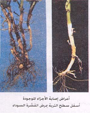 Http Www Vercon Sci Eg Indexui Uploaded Potato 20productioncultevaite Image Pic12 Jpg Meat Jerky Meat Plants