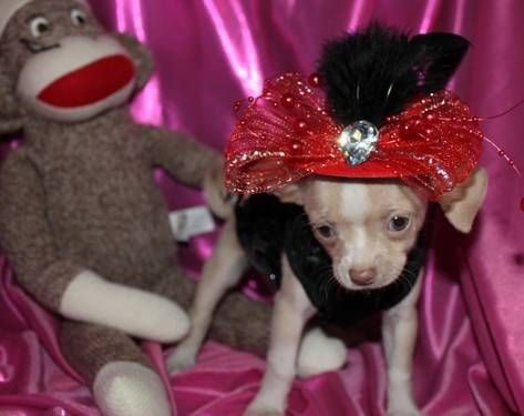 Ready For Holidays Chihuahua Female Silver Fawn In Color Unique