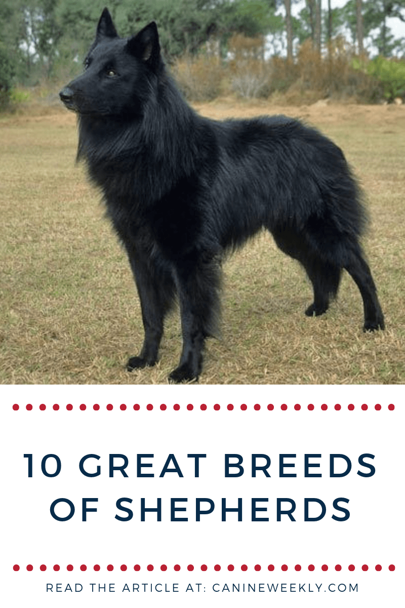 Most Shepherd Breeds Exhibit A Few Common Traits Including High Energy Levels A Strong Work Ethic And Intel Dog Breeds Medium Shepherd Dog Breeds Dog Breeds