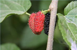 Edible Wild Plants in South Carolina Backyard Edibles