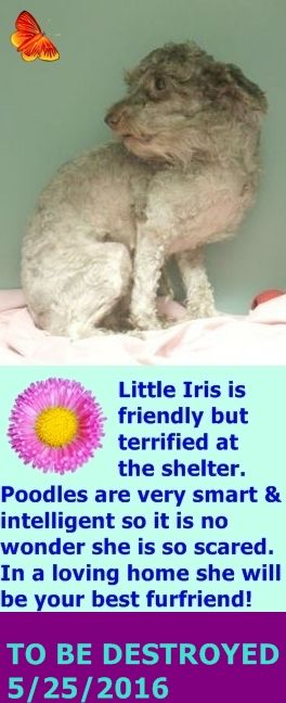 SAFE 5-25-2016 by Next Stop Forever --- Manhattan Center IRIS – A1073212 **DOH-B 05/10/16** FEMALE, BROWN, POODLE TOY MIX, 4 yrs STRAY – ONHOLDHERE, HOLD FOR DOH-B Reason STRAY Intake condition EXAM REQ Intake Date 05/10/2016 http://nycdogs.urgentpodr.org/2016/05/iris-a1073212/