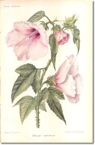 Hibiscus By Revue Horticol Botanical Prints 1800s Botanicals