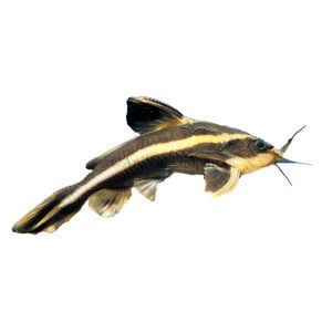 Striped Raphael Catfish Live Fish Petsmart Pet Fish Catfish Diy Fish Tank