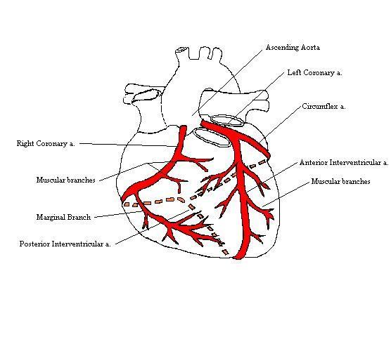 Cardiac Arteries Diagram Application Wiring Diagram