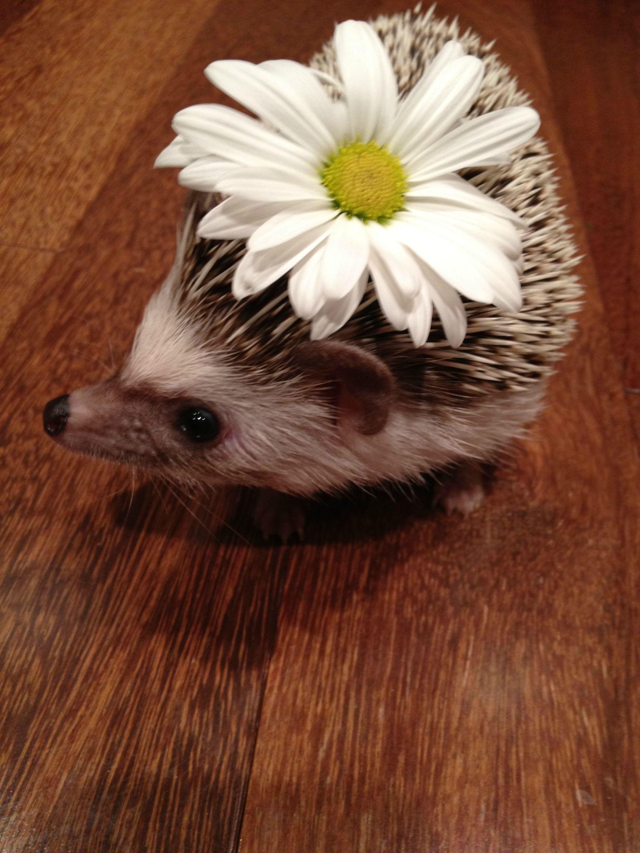 reddit source: /r/aww/comments/tr8bu/my_happy_hedgehog_wearing_a_daisy/