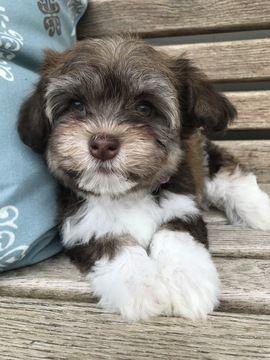 Litter Of 7 Havanese Puppies For Sale In Mount Pleasant Sc Adn
