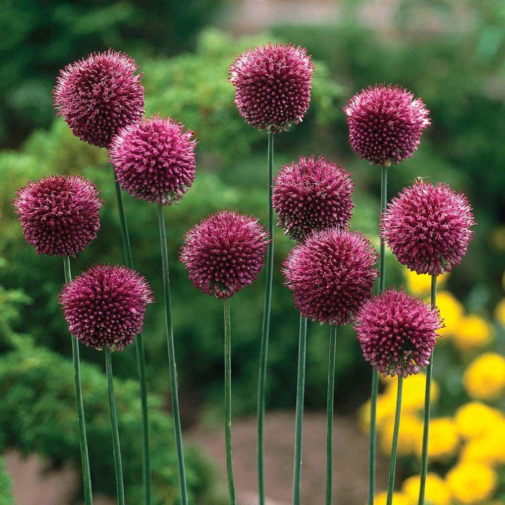 Allium Drumstick Bulbs Unique Purple Blooms Plant In Pots For Spring Wedding Favors Or Centerpieces Bulb Flowers Dutch Gardens Planting Bulbs