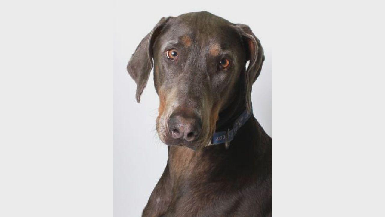 Pet of the Week Gunner Dog adoption, Pets, Doberman
