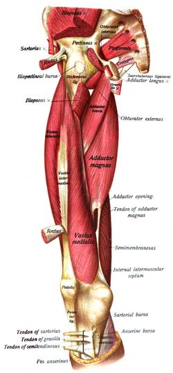 Piriformis Origin Sacrum Insertion Greater Trochanter Artery