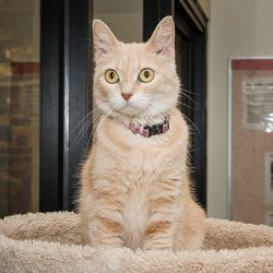 Stubbie is an adoptable Tabby - Orange Cat in Nashville, TN.  Other cats may have tails that are longer than mine, but my tail makes up for it by having a better personality! I may be a little girl, b...