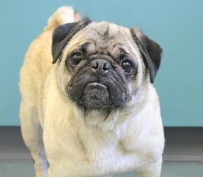 Aspin Is An Adoptable Pug Dog In Parkersburg Wv Adorable Pug Alert Hi Everyone People Here Call Me Aspin And I M A Friendly Snorty 5 Pug Mix Pug Dog Pugs