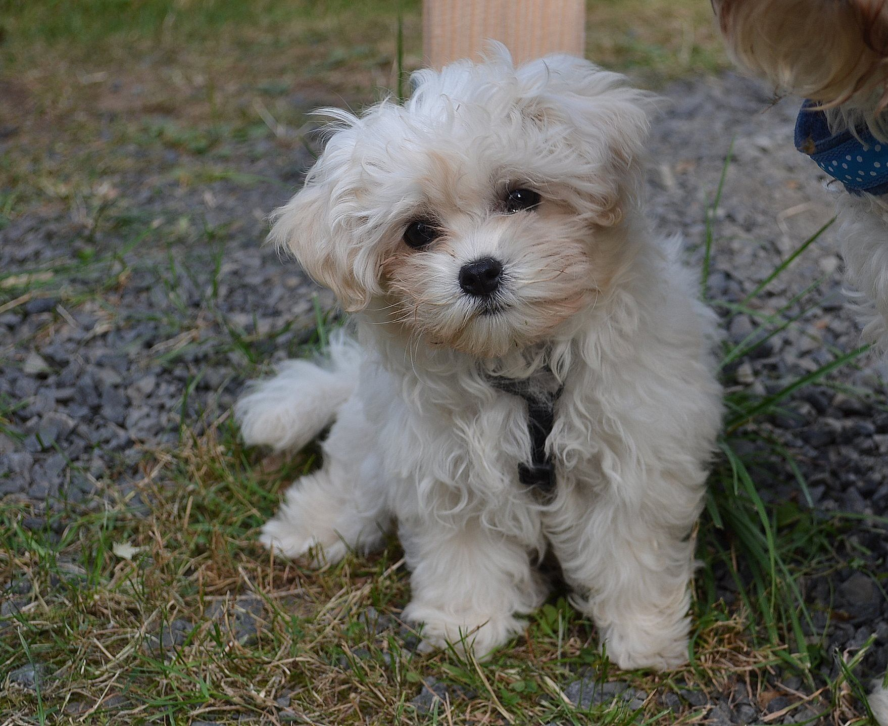 Bolonka Zwetna I love dogs Pinterest