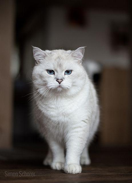Yeti Baby cats, Cats, White cats