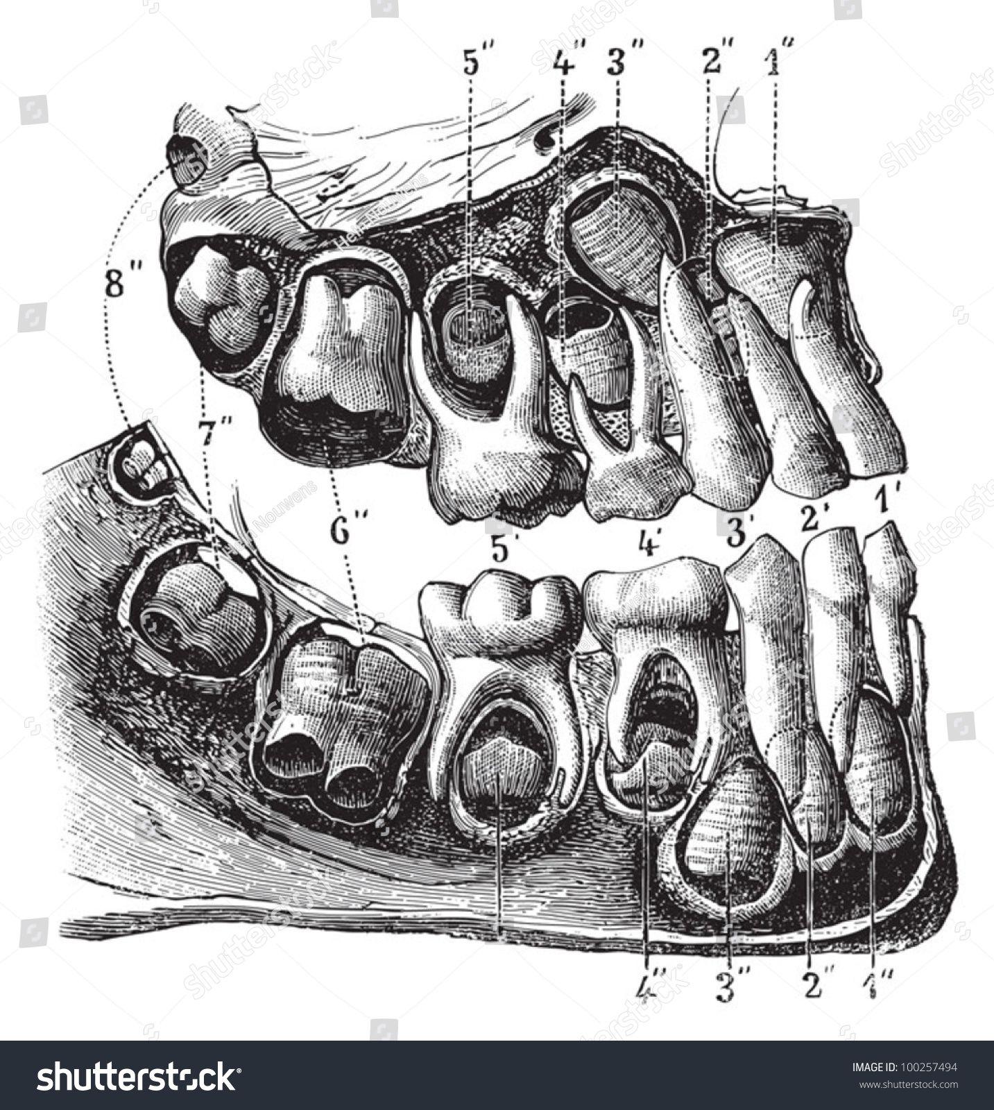 Human Teeth Anatomy Child Vintage Illustration From Die Frau Als