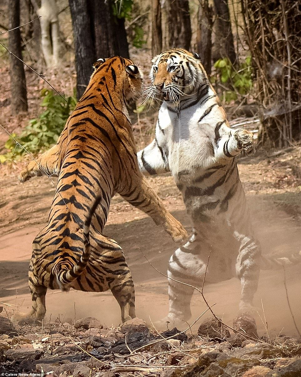 Sister tigers fight after one marked the other's territory