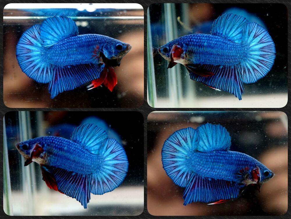 Betta Fish Betta Fish Ideas Bettafish Fishbetta Live Betta Fish Fancy Metallic Blue Violet Hmpk Halfmoon Plakat Male Fhp849 35 00 End Ikan Cupang Ikan