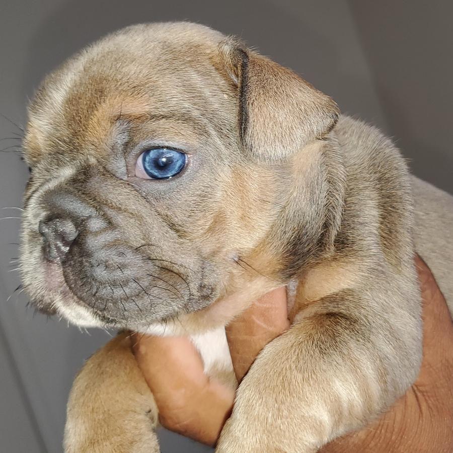 French Bulldog Puppies Blue Sable French Bulldog Puppies French