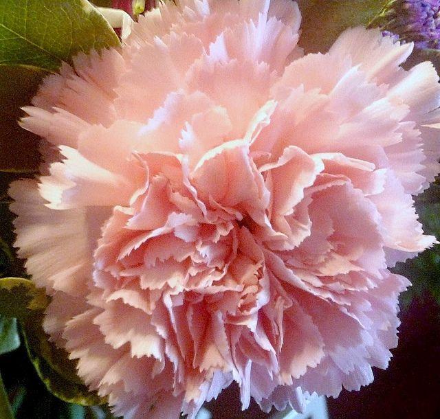 Breathtaking Pink Carnation Esque Tree Blossoms Pink Carnations Carnations Blossom