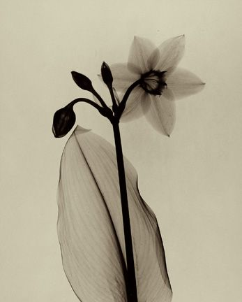 Dr. Dain L. Tasker - X-Ray of  Amazon Lily, 1930s.