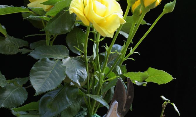 Poda de los rosales bricoman a ideas de jardiner a - Bricomania jardineria ...