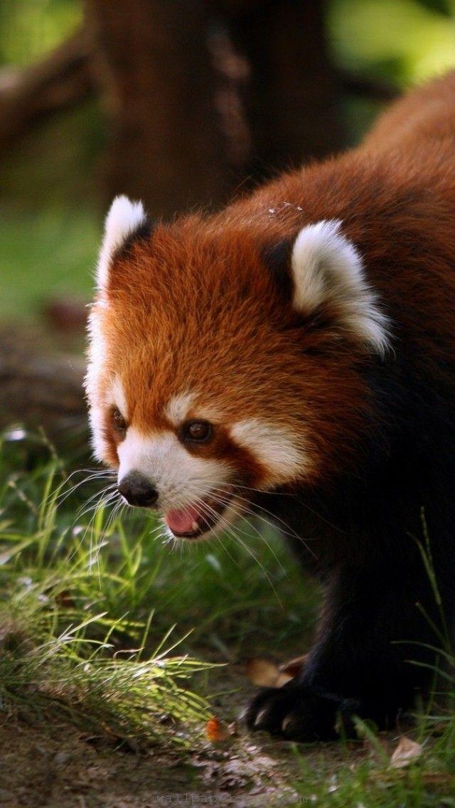 animalwallpaperimagesanimalpanda share cute things at