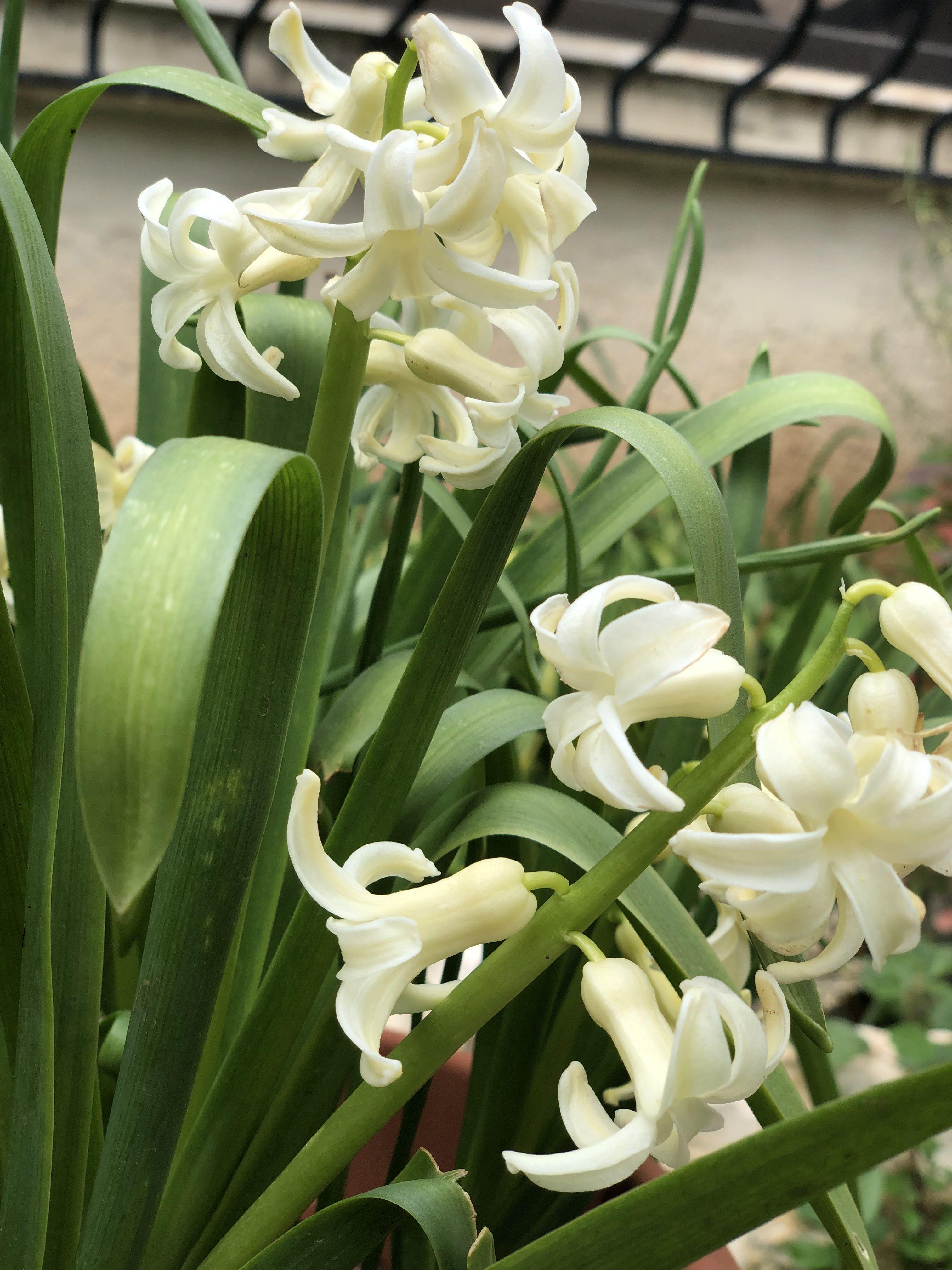 الورد الأبيض Plants