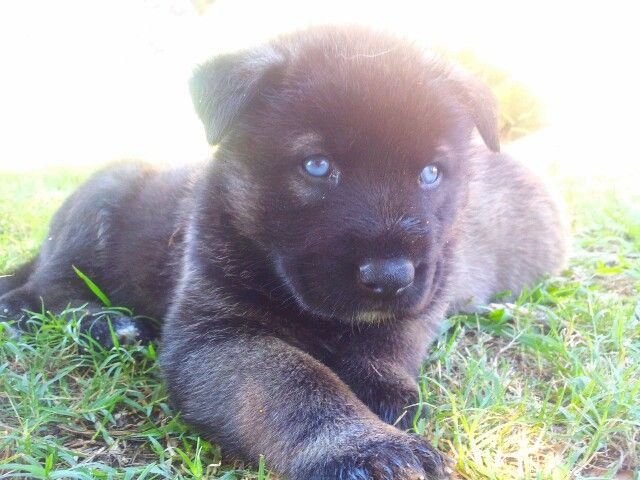 This Is Suki One Of My Shepkita Puppies The Mother Is Akc