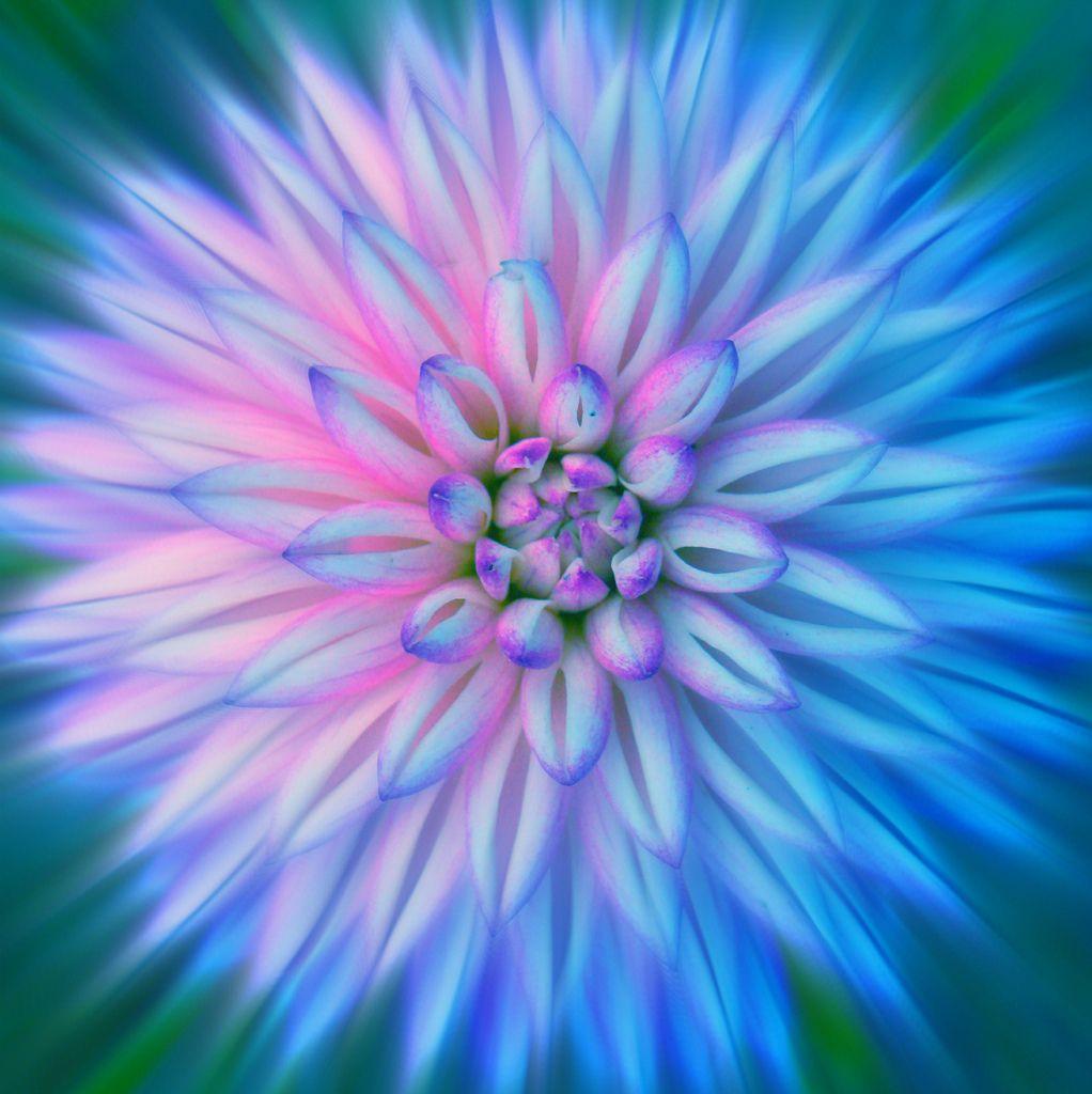 Two Toned Dahlia Dahlia Flowers And Flower