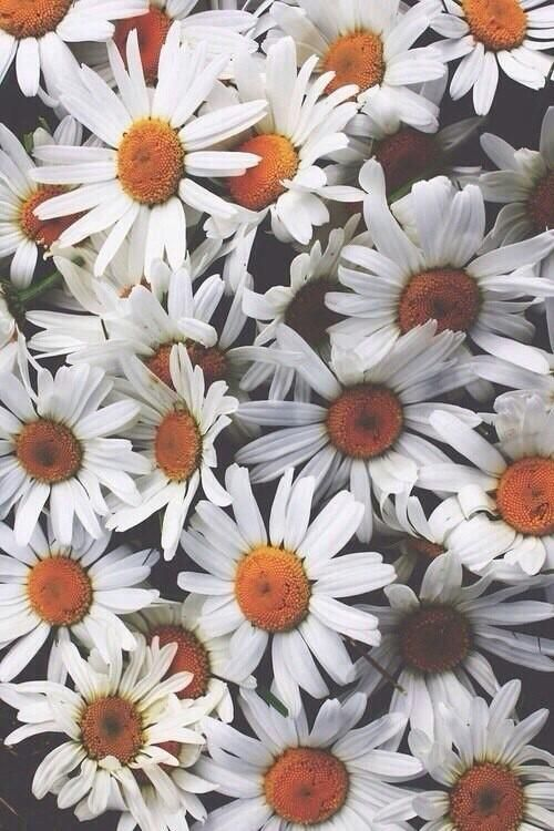 Imagen De Flowers Daisy And White