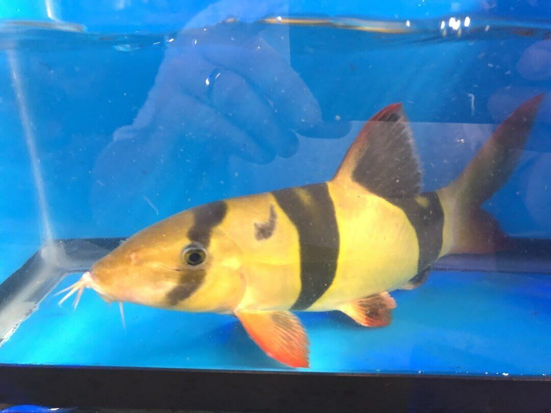 Clown Loach Fish Pet Swordtail Fish Aquarium Fish