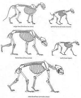 shape of skeletons compared for la brea lion spotted hyena brown bear wolf